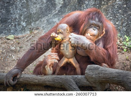 Orangutan in the zoo. - stock photo