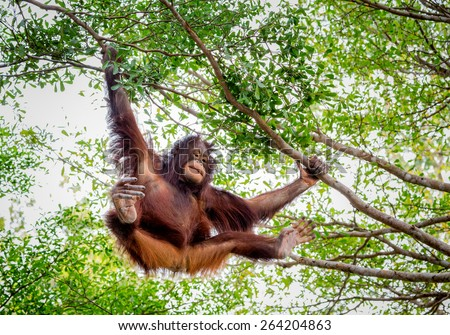 Orangutan in the zoo. - stock photo