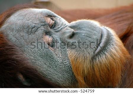 Orangutan in Thought - stock photo