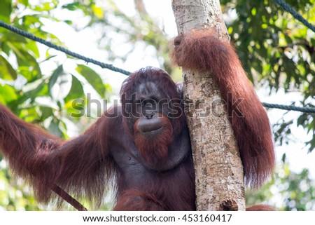 Orangutan male at Semenggoh Nature Reserve, Borneo Malaysia - stock photo