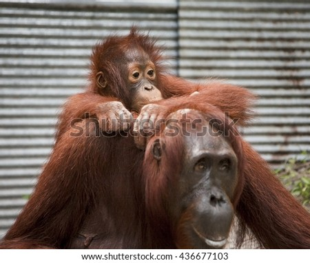 Orangutan monkey, Borneo, Tanjung Puting National Park: mother and son - stock photo