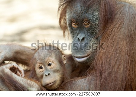 Orangutan mother with her child. Sweet orangutan family portrait. Wild beauty of a human-like monkey. - stock photo