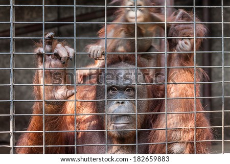Orangutan with her baby in cage - stock photo