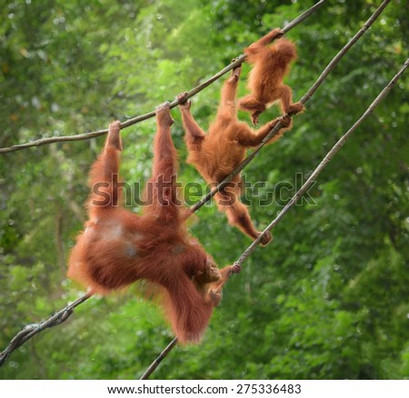 Orangutang family in funny poses walking on a rope, with jungle as a backgroung - stock photo