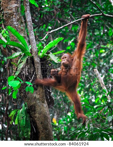 orangutang in Semenggoh Wildlife Rehabilitation Centre - stock photo