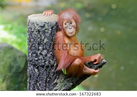 Orangutang (Pongo) baby sits on the tree - stock photo