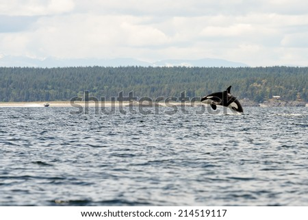 Orca jumps out of the sea at Lund Canada - stock photo