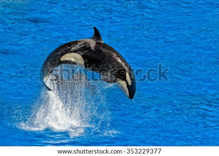 orca killer whale while jumping outside the water - stock photo