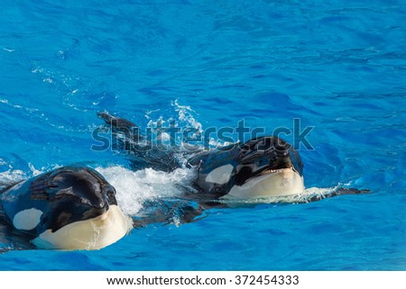 orca killer whale while swimming too you - stock photo