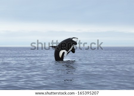 Orca making high jump, Kamchatka, Northwest Pacific - stock photo