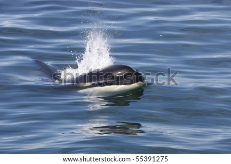 Orca or killer whale breaking the surface, Iceland, Atalntic Ocean - stock photo