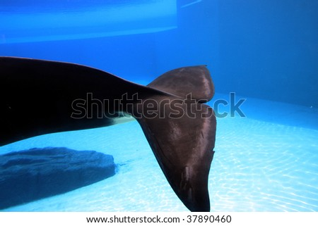 orca playing in a pool of blue water - stock photo