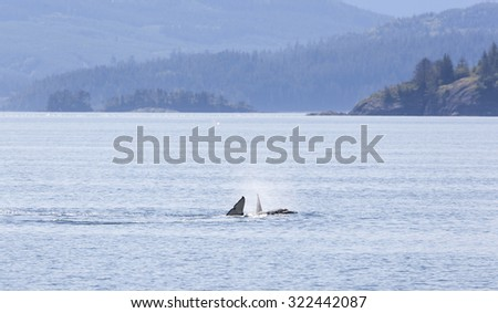 Orca traveling in Johnstone strait, Vancouver Island, British Columbia, Canada - stock photo