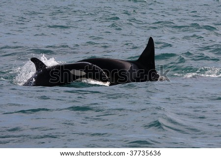 Orca with young, Westmen Isles, Iceland - stock photo