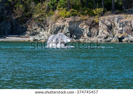 Orcas Hunting - stock photo