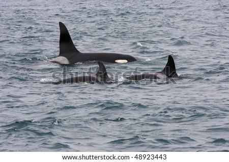 Orcas or killer whales, Iceland, Atlantic Ocean - stock photo