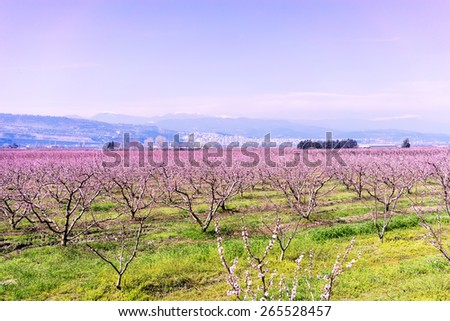 orchard of peach trees bloomed in spring - stock photo