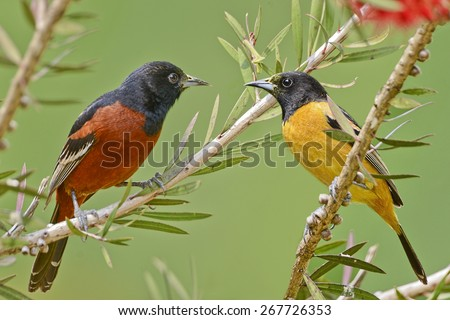 Orchard Oriole Male and Female - stock photo