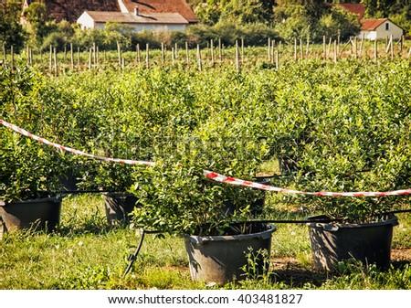 Orchard with blackberry bushes. Seasonal fruit picking. Homestead scene. - stock photo