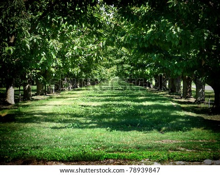 orchard with trees into the distance - stock photo
