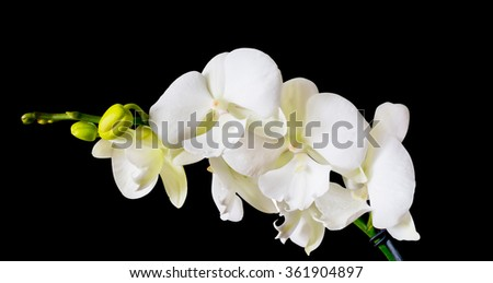 Orchid Big Lip, White branch orchid flowers - stock photo