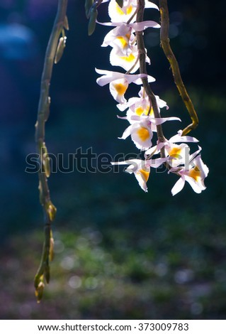 Orchid blooming close up with black background highlighting flower petals as ropes shimmering multicolored flowers in spring sunshine - stock photo