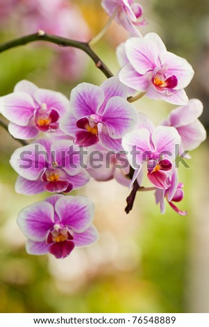 Orchid Blooms - stock photo