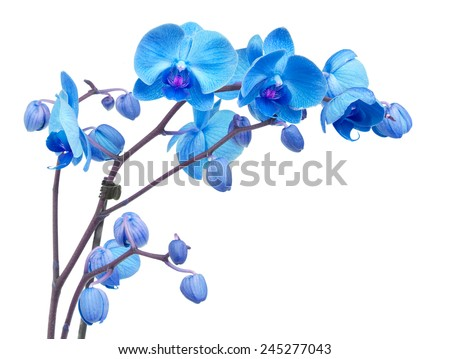 orchid branch  with blue flowers isolated on white background - stock photo