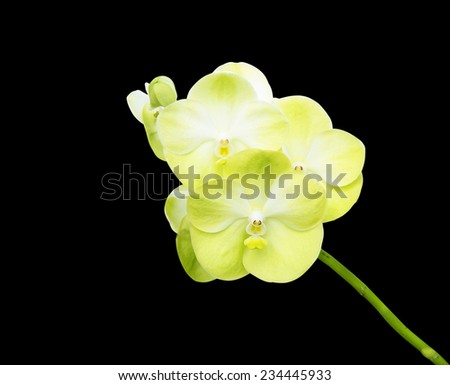 Orchid Flower isolated on black background - stock photo
