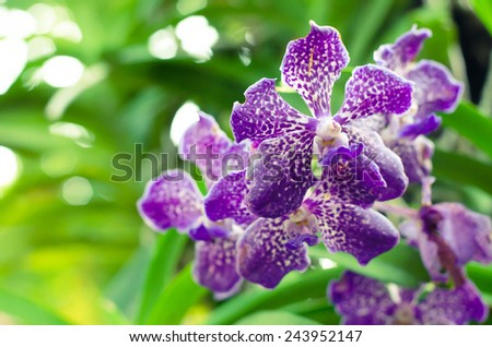 Orchid Flower, Phalaenopsis purple white Stripe x hybrid Orchid flower blooming and bokeh background - stock photo