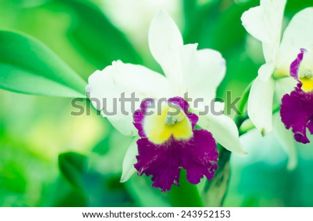 Orchid Flower, Phalaenopsis purple white Stripe x hybrid Orchid flower blooming on blurred green background  - stock photo