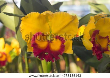 Orchid flowers, Laeliocattleya yellow and purple color - stock photo