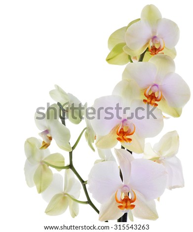 Orchid flowers on white background - stock photo