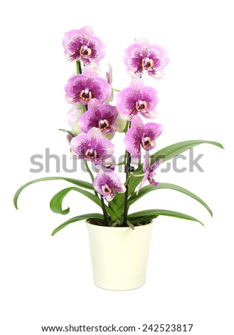 Orchid in pot isolated on white ( Phalaenopsis ) - stock photo