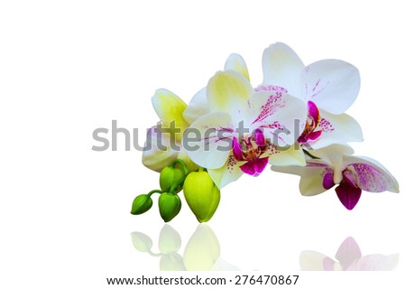 Orchid isolated on white background. - stock photo