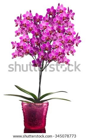 orchid isolated on white background (shallow dof) - stock photo