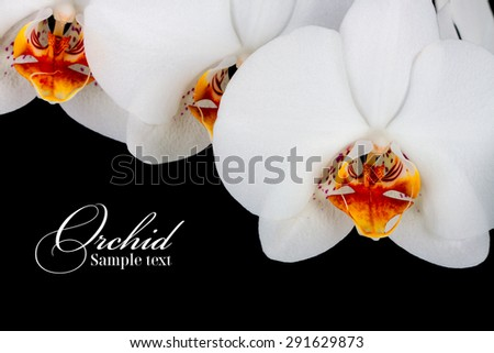 orchid on the black background  - stock photo