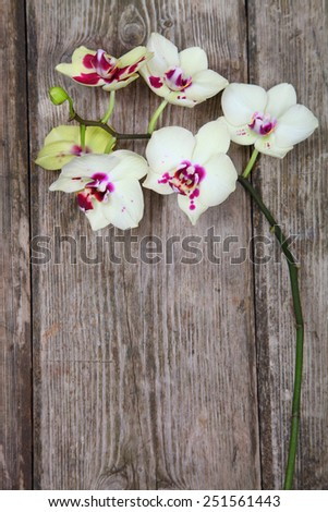 Orchid(Phalaenopsis ) on a wooden background close-up - stock photo