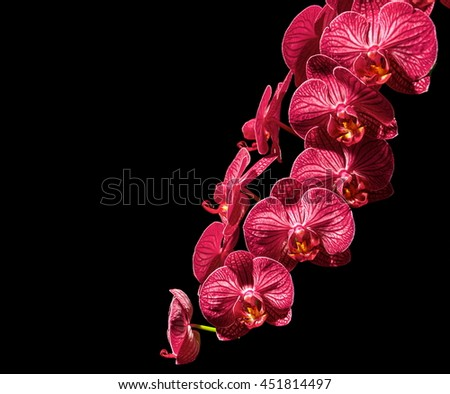 Orchid, red orchid flower on a black background - stock photo