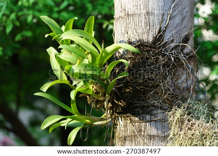 Orchid tree - stock photo
