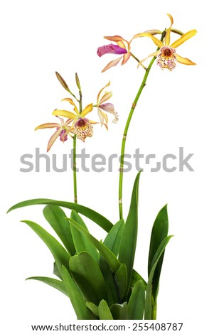 Orchids (Cattleya Recchara Frances Fox) flowers isolated on a white background - stock photo