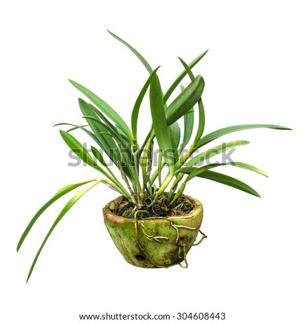 Orchids in pots isolate - stock photo