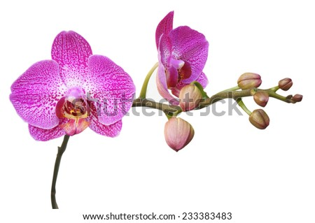 Orchids on white background - stock photo