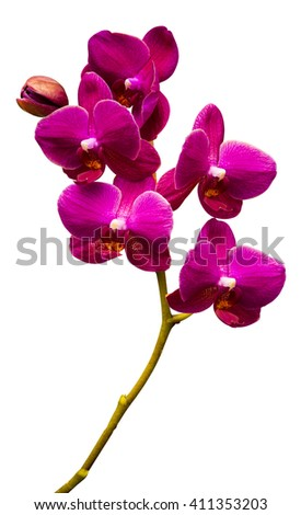 Orchids. Orchid flowers. A branch of orchid isolated on white background. Red orchid. - stock photo
