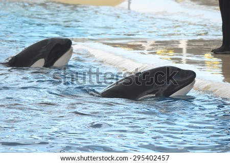 Orcinus Orca Whale on a very Blue Water - stock photo