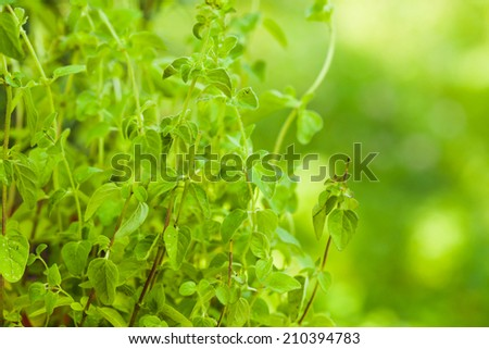 Oregano bush close up the leaves - stock photo