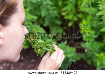 oregano outdoor in the garden, woman is picking some and smelling on it - stock photo