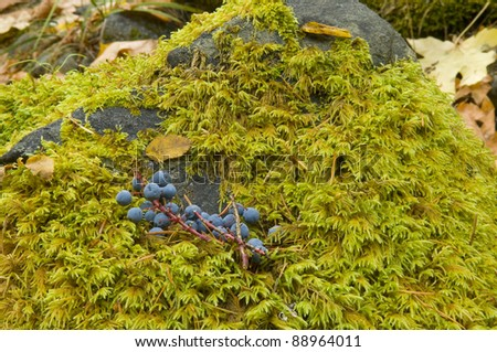 Oregon grape with moss on smooth rock in autumn - stock photo