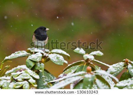 Oregon Junco (Junco hyemalis oreganus) perched on covered with snow rhododendron bush. - stock photo