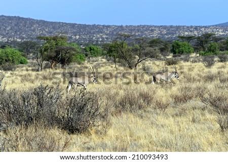 Oreks gazelle on the African savannah wildlife habitat - stock photo